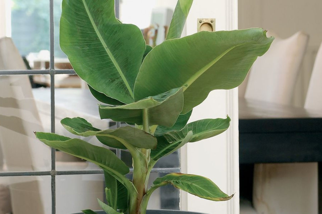 Bananenpflanzen überwintern